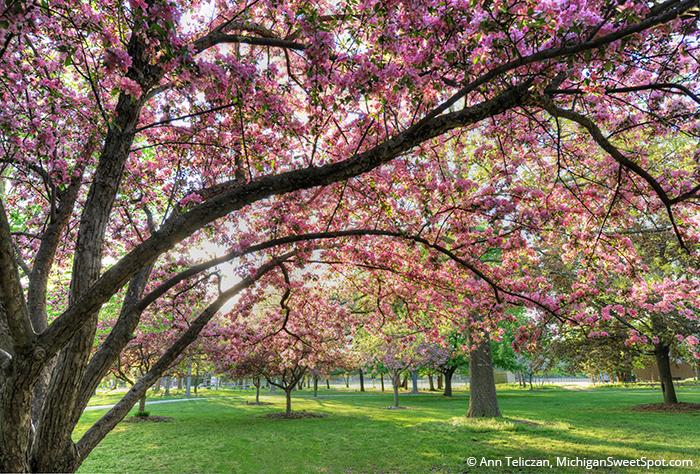 Ada Park Crabapple Blooms, Sensory Overload