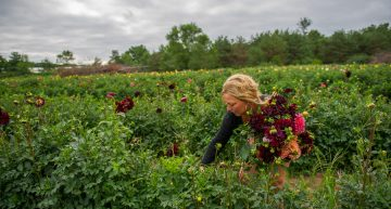Dahlia Acres Farm – Pick Your Own Flowers, Allendale MI